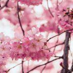 朝倉市の人気お花見スポットを紹介!桜まつりやライトアップは?